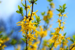 Forsythia i blom Royaltyfria Foton