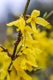 Forsythia i blom Arkivbild