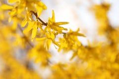 Forsythia i Sunny Early Spring Garden royaltyfria bilder