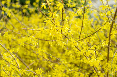 Forsythia. X intermedia in blossom in the spring Royalty Free Stock Images