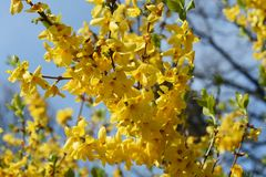 Branches with flowers of Forsythia Intermedia Spectabilis. Forsythia Intermedia Spectabilis, is a bush with small and bright yellow flowers, in the olive family stock images