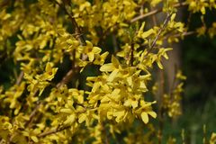 Branches with flowers of Forsythia Intermedia Spectabilis. Forsythia Intermedia Spectabilis, is a bush with small and bright yellow flowers, in the olive family stock photography
