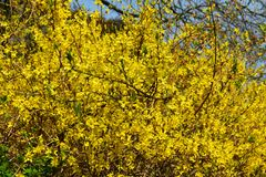 Branches with flowers of Forsythia Intermedia Spectabilis. Forsythia Intermedia Spectabilis, is a bush with small and bright yellow flowers, in the olive family stock image