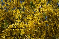 Branches with flowers of Forsythia Intermedia Spectabilis. Forsythia Intermedia Spectabilis, is a bush with small and bright yellow flowers, in the olive family stock photo