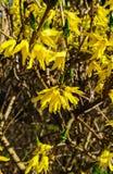 Forsythia jaune de fleurs en premier ressort sur les branches nues sans feuilles image libre de droits