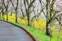 Forsythia jaune et cerisiers le long du passage couvert dans Shibata, Miyagi, Tohoku, Japon pendant le ressort Image libre de droits