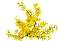 Forsythia Laburnum Flower Stock Photos