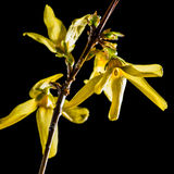 Forsythia Royalty Free Stock Photos