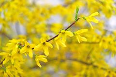 Forsythia Yellow Flowers Stock Images