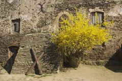 Forsythia på den Bolkow slotten, Polen Arkivbild