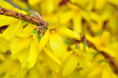 Forsythia in piena fioritura Fotografia Stock