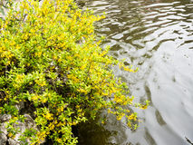 Forsythia plant with yellow flowers near water Stock Photos