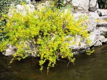 Forsythia planterar med gula blommor Arkivbilder