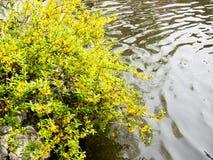 Forsythia planterar med near vatten för gula blommor Arkivfoton