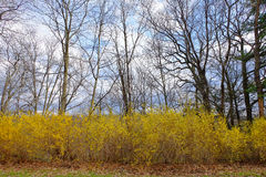 Forsythia Row Royalty Free Stock Photography