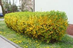 Forsythia shrub Stock Images