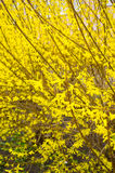 Forsythia shrub Stock Photography