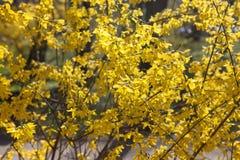 Forsythia som på våren blommar Fotografering för Bildbyråer