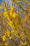 Forsythia in spring-time Royalty Free Stock Photography