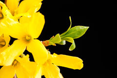 Forsythia sprout Royalty Free Stock Photography