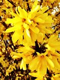 Forsythia suspensa yellow flowers  Royalty Free Stock Image