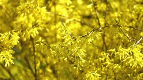 Forsythia Tree Flowers. In Spring Time stock footage