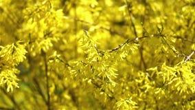 Forsythia Tree Flowers stock footage