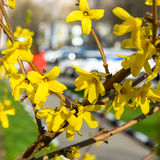 Forsythia Tree Flowers In Spring Time. Forsythia Tree Flowers. Sping in the city Royalty Free Stock Photo