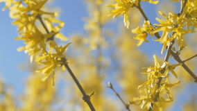 Forsythia Tree Flowers In Spring Time. Sunny. Forsythia Tree Flowers In Spring Time stock video