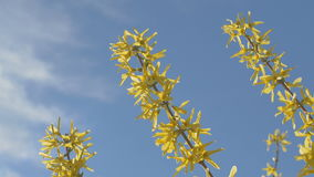 Forsythia Tree Flowers In Spring Time. Sunny. Forsythia Tree Flowers In Spring Time stock video footage