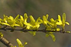 Forsythia, un bello cespuglio della molla con i fiori gialli Fotografia Stock