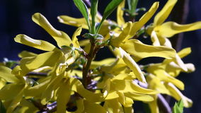 Forsythia video Stock Images