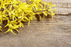 Forsythia on wooden background Stock Photo
