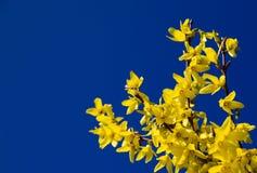 Forsythia y cielo azul Fotografía de archivo libre de regalías