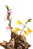 Forsythia y flores del albaricoque en el fondo blanco Imagen de archivo