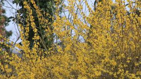 Forsythia yellow flowers in full bloom stock footage