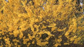 Forsythia yellow flowers in full bloom stock video footage