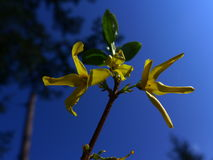Forsythia. Is a yellow Spring flower from a genus of flowering plants in the family Oleaceae (olive family Stock Images