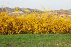 Forsythia, yellow spring flowers and green grass Stock Images