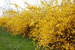 Forsythia, yellow spring flowers hedge, green grass Stock Photos