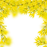 Forsythia Royalty Free Stock Image