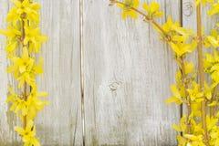 Forsythiabloemen stock afbeeldingen