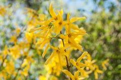 Forsythiabloemen in een stedelijk park Royalty-vrije Stock Afbeelding