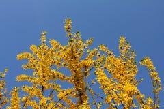Forsythiabloemen Pasen-boom tegen de hemel worden genoemd die stock fotografie