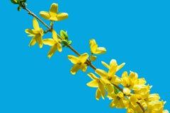 Forsythiabloesem Een tak tegen de blauwe hemel De gele bloem van de lente Gouden Klok royalty-vrije stock afbeelding