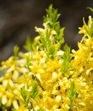 Forsythiablommor Blommande forsythiabuske med guld- blommor i vår Arkivfoton