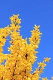 Forsythiabuske för full blom på vår, mot blå himmel Arkivbilder