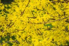 Forsythiabuske som blommar med tusen av gula blommor Arkivfoto
