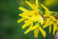 Forsythiabuske som blommar med tusen av gula blommor Royaltyfria Foton