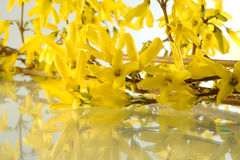 Forsythias Royalty Free Stock Images